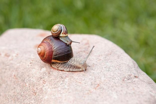 Mały ślimak siedzi na dużym ślimaku, który czołga się po skale
