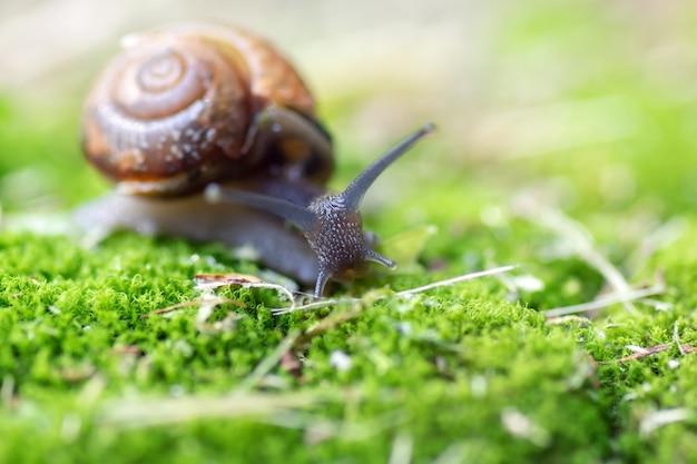 Mały ślimak skrada się po mchu