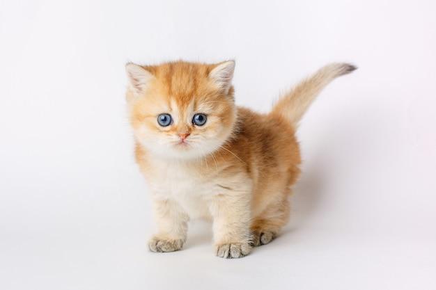 Mały słodki kociak złota szynszyla brytyjska na białym tle