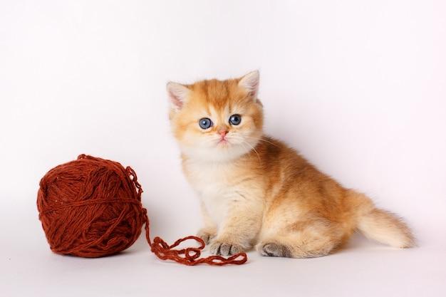 Mały słodki kotek złota szynszyla brytyjska z kłębkiem nici na białym tle