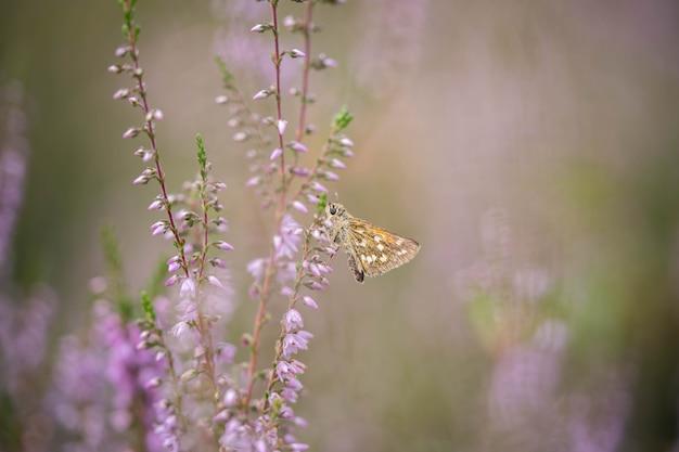 Mały słodki motylek zbiera pyłek z kwiatów wrzosu