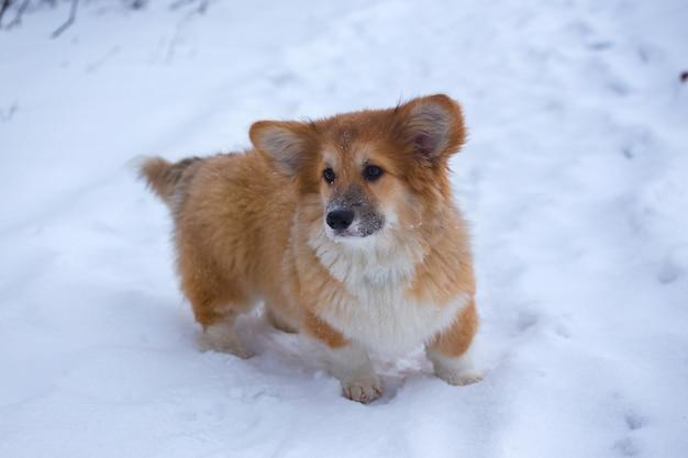 Mały słodki puszysty szczeniak corgi na zewnątrz portret z bliska w zimowy dzień