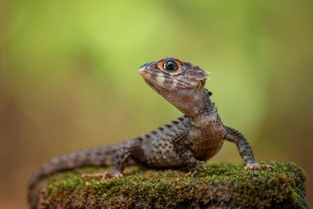 Mały smok, krokodyl