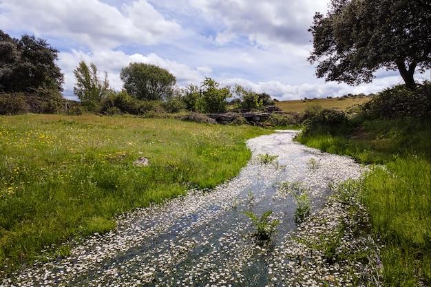 Mały strumień z białymi kwiatami na wiosennym polu z zieloną trawą i błękitnym niebem