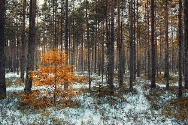 Mały świerk żółty wśród sosen w zimowym lesie