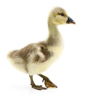 Mały szary gosling na białym tle.