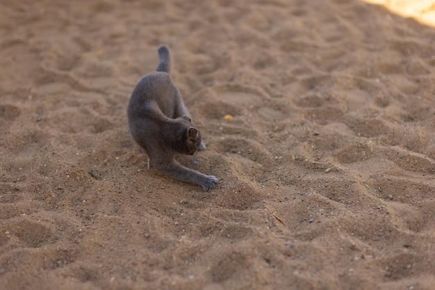 Mały szary i biały kotek zakopuje swoje ekskrementy na zewnątrz. kocią czystość. kot wąchający i dotykający łapą ziemi.