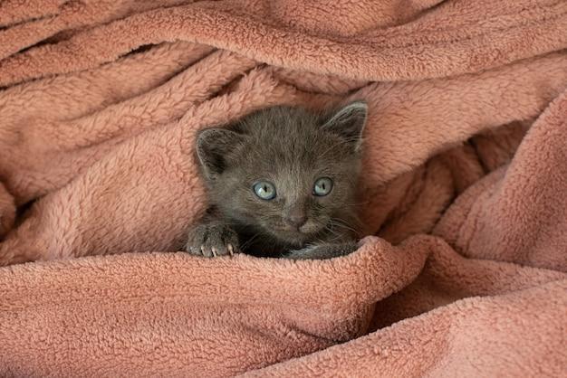Mały szary kot w różowym kocu ziewa.