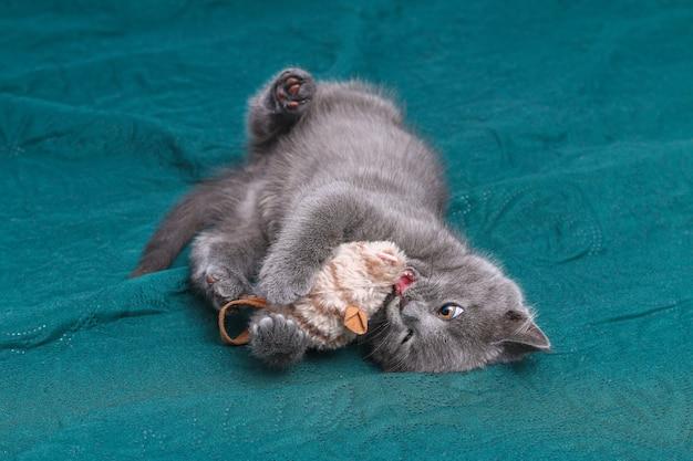 Mały szary kotek bawi się zabawkami myszy i kotów