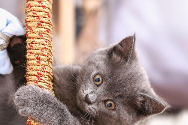 Mały szary kotek bawi się zabawkami z kokardką