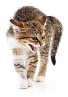 Mały szary kotek na białym tle.