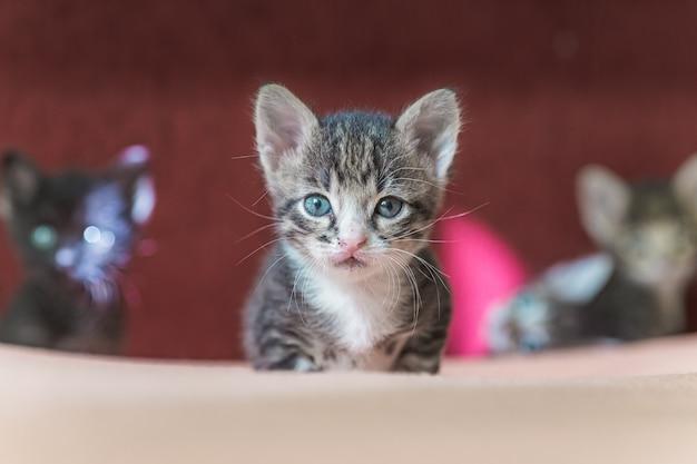 Mały szary kotek w paski patrzy w ramkę. kotek ma 1 miesiąc. nowonarodzony kotek bez mamy.