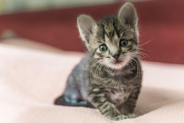 Mały szary kotek w paski patrzy w ramkę