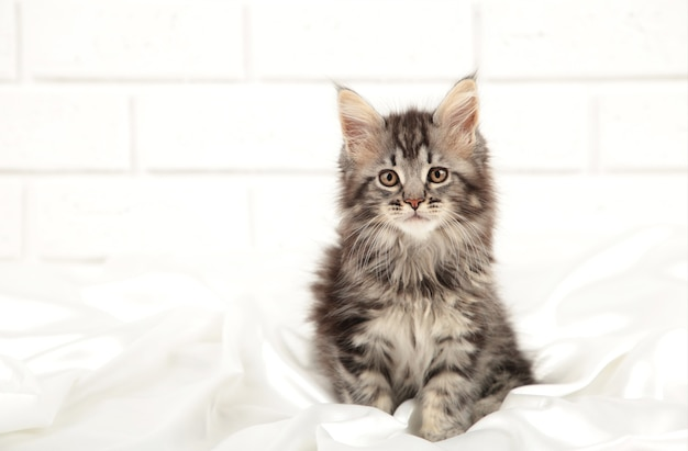 Mały szary maine coon kotek pozowanie na jasnym tle. widok z góry