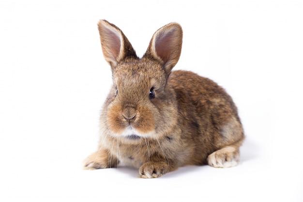 Mały szary puszysty króliczek, izolat, zajączek