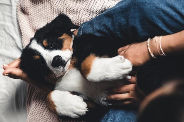 Mały szczeniak berneński pies pasterski na rękach modnej dziewczyny z ładnym manicure. zwierzęta, moda