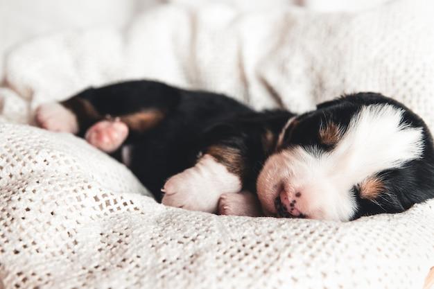Mały szczeniak berneński pies pasterski w łóżku. słodkie zwierzaki