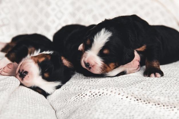 Mały szczeniak berneńskiego psa pasterskiego w łóżku. słodkie zwierzaki