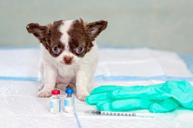 Mały szczeniak chihuahua siedzi na stole w klinice weterynaryjnej, na stole są fiolki ze szczepionką, strzykawka i rękawiczki medyczne, selektywne skupienie