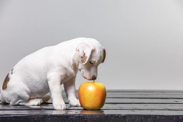 Mały szczeniak liże duże jabłko. piękny pies kosztuje jabłko.