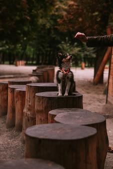 Mały szczeniak spacerujący i bawiący się w parku