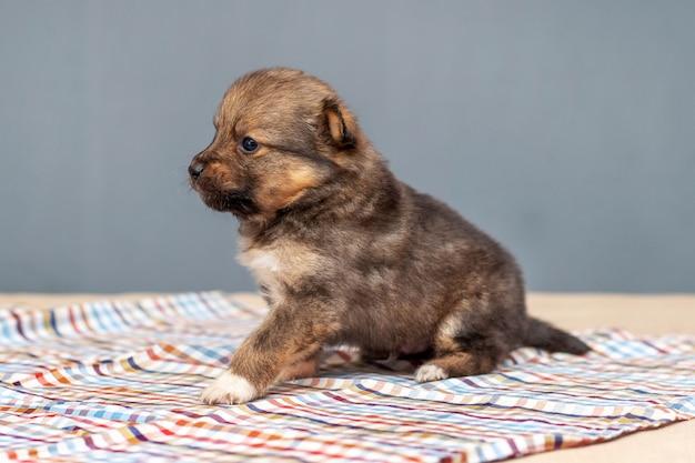 Mały szczeniak w pokoju siedzi na ściółce z kraciastej tkaniny