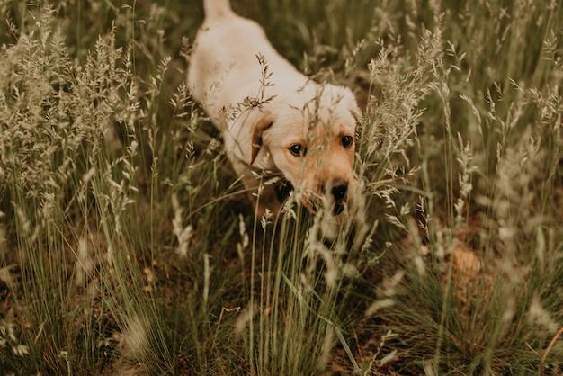 Mały szczęśliwy biały szczeniak labrador spacery w naturze w zielonej trawie