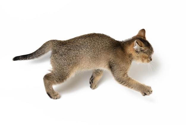 Mały szkocki prosty kotek biegnie po białej powierzchni, słodki kot