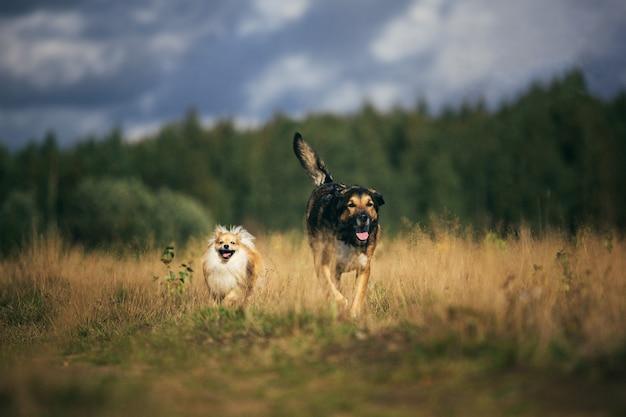 Mały szpic pomorski i duży kundel pies chodzą na polu w letni dzień