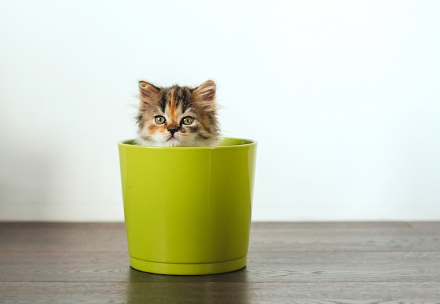 Mały trójkolorowy kotek siedzi w zielonej doniczce