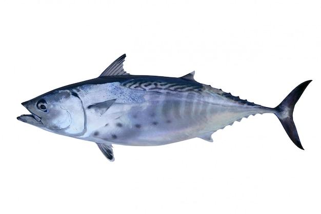 Mały tuńczyk łapie tuńczyka z atlantyku