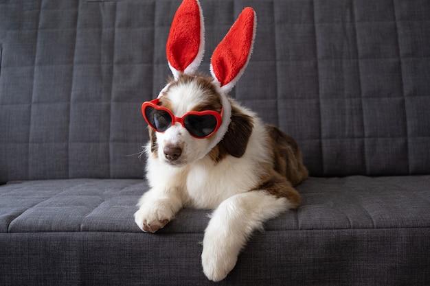 Mały uroczy ciekawy owczarek australijski czerwony trzy kolory szczeniak sobie uszy królika. święta wielkanocne.