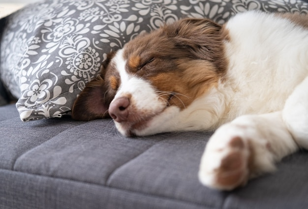 Mały uroczy owczarek australijski czerwony trzy kolory szczeniak. leżąc, śpiąc na sofie. opieka nad zwierzętami i przyjazna koncepcja.