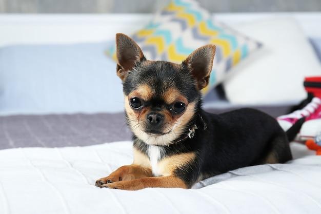 Mały uroczy pies na łóżku, zbliżenie