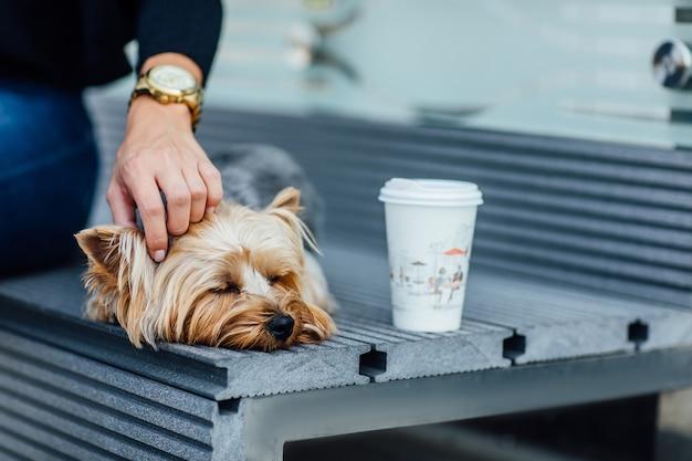 Mały, uroczy pies rasy yorkshire terrier, noszony przez właściciela w torbie na zwierzęta, do podróżowania na zewnątrz i wewnątrz. dod śpi w pobliżu kobiety.