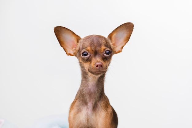 Mały uśmiechnięty pies na szaro