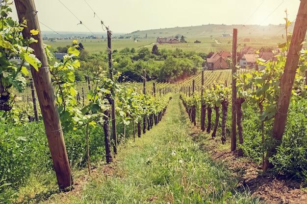 Mały winnica przy światłem słonecznym na letnim dniu