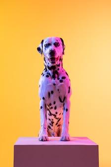 Mały zabawny pies dolmatian pozowanie na białym tle nad ścianą w świetle neonu