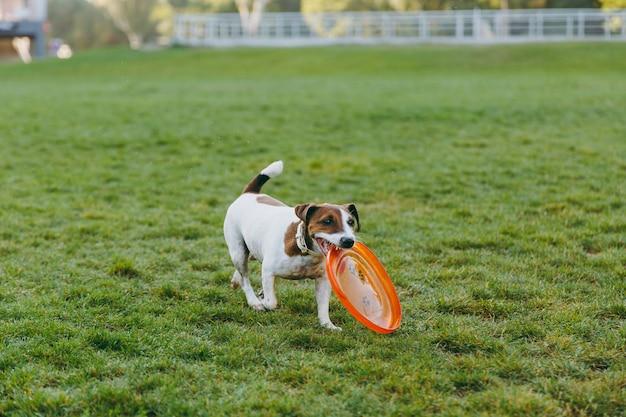 Mały zabawny pies połowu pomarańczowy latający dysk na zielonej trawie. mały jack russel terrier zwierzak gra na świeżym powietrzu w parku. pies i zabawka na świeżym powietrzu.