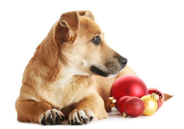 Mały zabawny słodki pies z świątecznymi zabawkami na białym tle