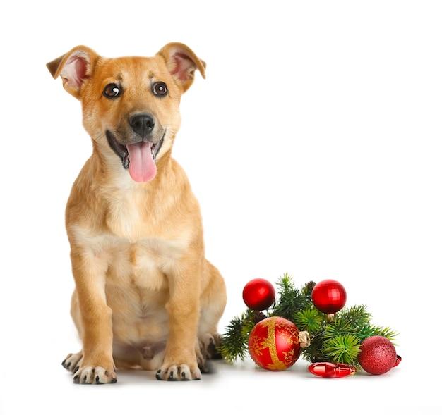 Mały zabawny słodki pies z świątecznymi zabawkami, na białym tle