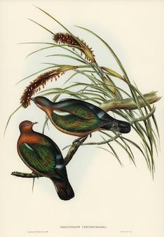 Mały zielony gołąb (chalcophaps chrysochlora) zilustrowany przez elizabeth gould