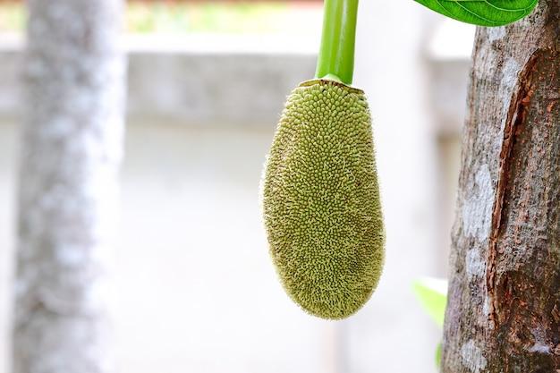 Mały zielony jackfruit na drzewie ma rozmyte tło.