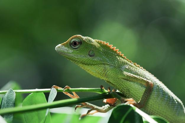 Mały zielony kamuflaż jaszczurki jubata na zielonych liściach z czarnym tłem urocza zielona jaszczurka
