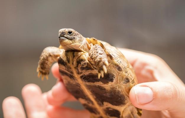Mały, zmielony żółw lub żółw górski w rękach mężczyzny z kopią miejsca na twój tekst