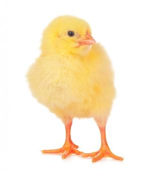 Mały żółty kurczak odizolowywający