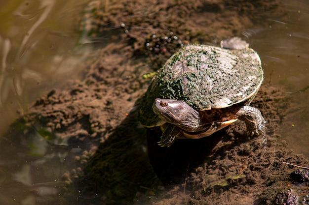 Mały żółw dominikański w naturalnej lagunie