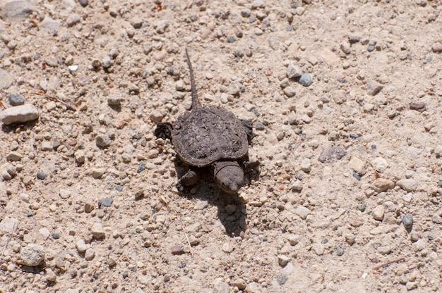 Mały żółw jaszczurowaty, chelydra serpentina, kieruje się w stronę jeziora.