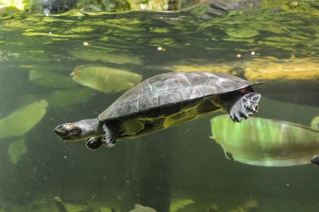 Mały żółw pływa w akwarium. londyn.