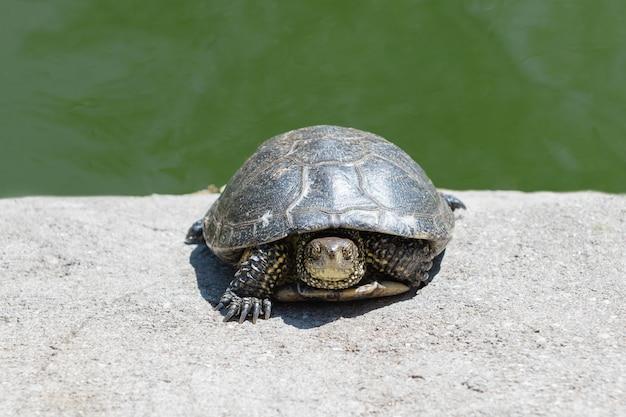 Mały żółw siedzi w zoo, zamyka up.